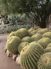Golden Barrel Cactus At Arboretum