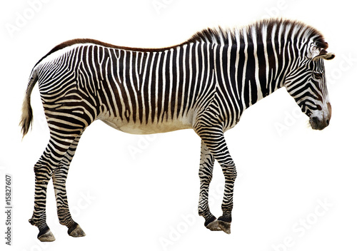 In de dag Zebra zèbre de grévy