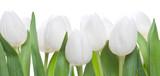 Fototapeta Tulipany - weisse Tulpen