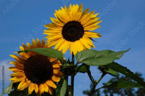 Sonnenblumen @p(AS)ob