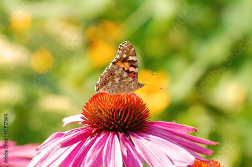 Schmetterling auf einer Blume @p(AS)ob
