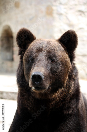 Tuinposter Panter Bear's portrait