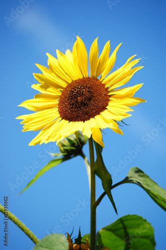 Sonnenblume @p(AS)ob