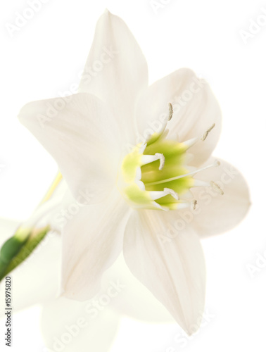 Fleur De Lys De La Vierge Buy This Stock Photo And Explore Similar