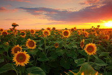 Sunflower Field On A Warm Summ...