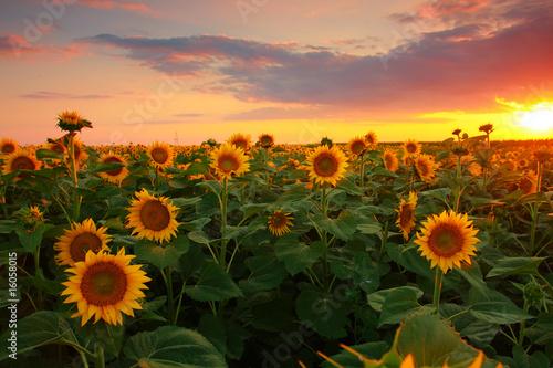 Garden Poster Light pink Sunflower field on a warm summer evening