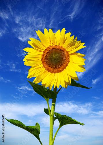 Doppelrollo mit Motiv - sunflower
