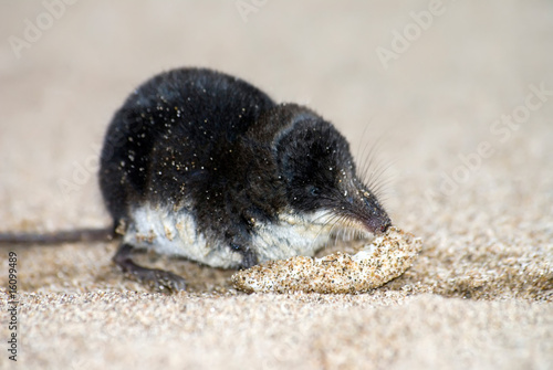 Fotografie, Obraz  water shrew