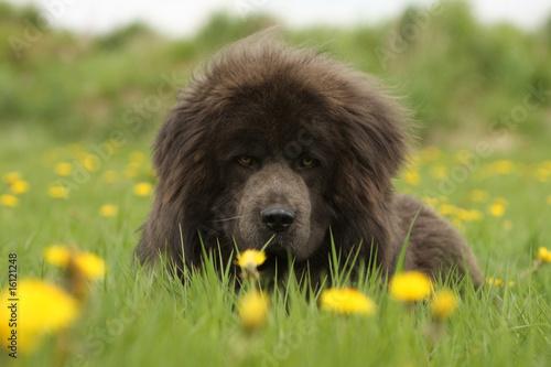 Cuadros en Lienzo dogue du tibet allongé dans l'herbe de face parmi les fleurs