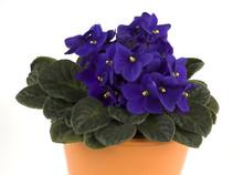 African Violet Detail