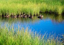 Ducks In Water Of Mountain Lake