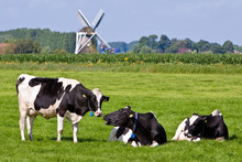 Cows In A Grassland In The Countryside