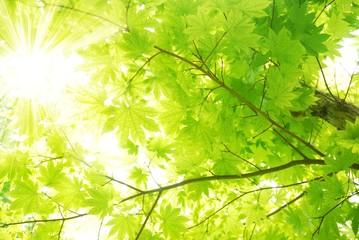 Fototapeta Do salonu Green maple leaves with sun beams