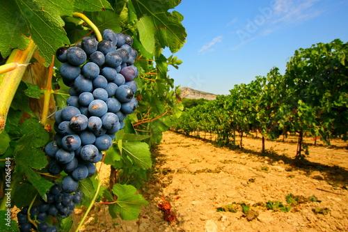 Fotografía  Grappolo d'uva