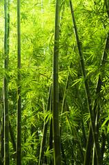 Fototapeta Bambus Bamboo forest