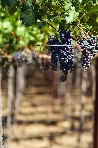 Fotografie, Obraz  Wine grapes on the vine