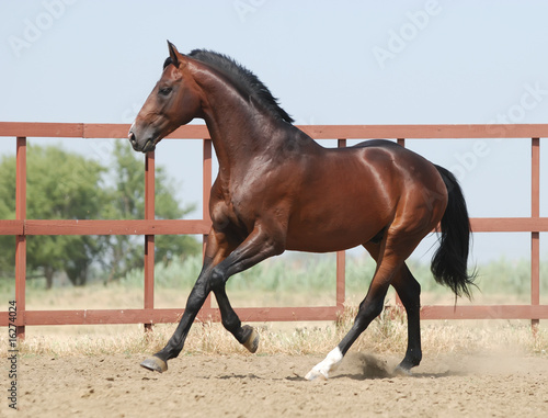 Photo  young brown trakehner horse