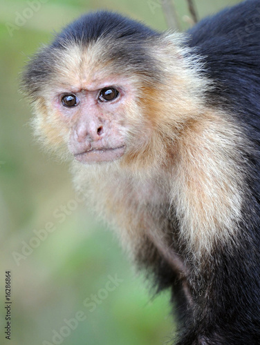 Valokuva  close up of white faced capuchin monkey