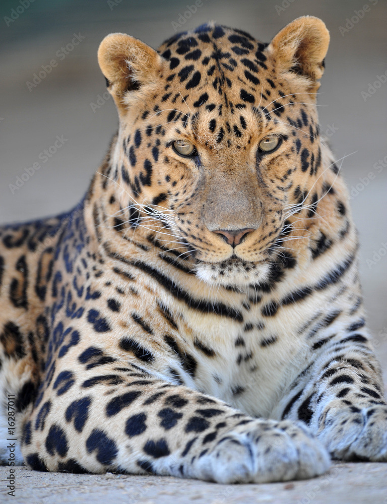 endangered amur leopard looking proudly at camera