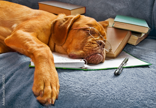 Dog Sleeping after Studying Poster