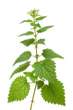 High Nettle Plant Isolated On ...