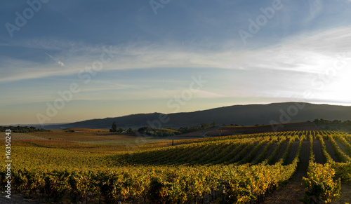 Grape vineyard at the sunset in alentejo portugal Canvas Print