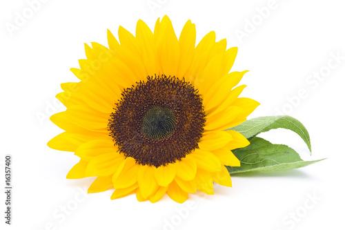 In de dag Zonnebloem sunflower isolated on white background
