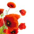 floral design, decoration flowers, poppies border - corner