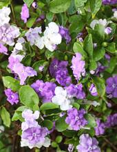 Francicéa : Brunfelsia Pauciflora