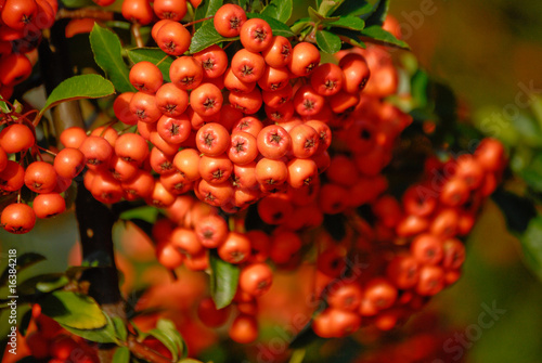 Fotografie, Obraz  rowan fruits on a twig