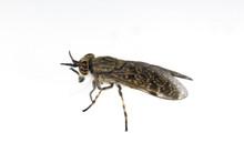 Bremse, Tabanidae