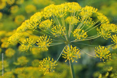 Valokuva  Dill. Umbelliferous aromatic Eurasian plant