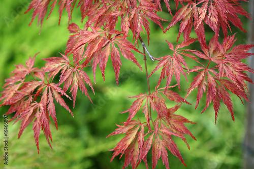 Photo Acer japonicum from the Sochi's Dendrarium garden