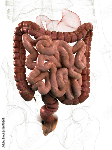 Dünn- und Dickdarm – kaufen Sie diese Illustration und finden Sie ...