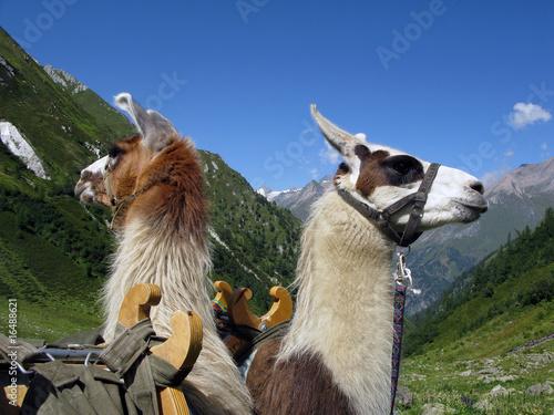 Staande foto Lama Lamas - llamas