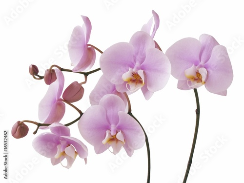 Foto-Duschvorhang - pink orchid flowers