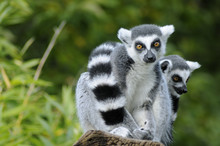 Two Ring-tailed Lemur