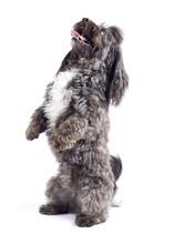 Havanese Dog Standing On His Hind Legs