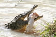 Crocodile Eating Fish