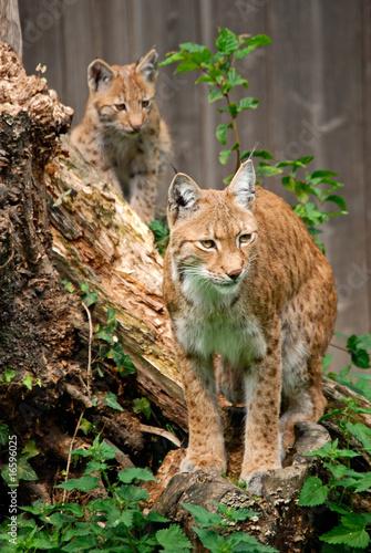 Papiers peints Lynx Luchs