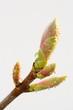 Leinwanddruck Bild - Bergahornknospe mit Tautropfen