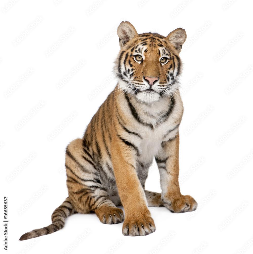 Portrait of Bengal Tiger, 1 year old, sitting, studio shot, Pant