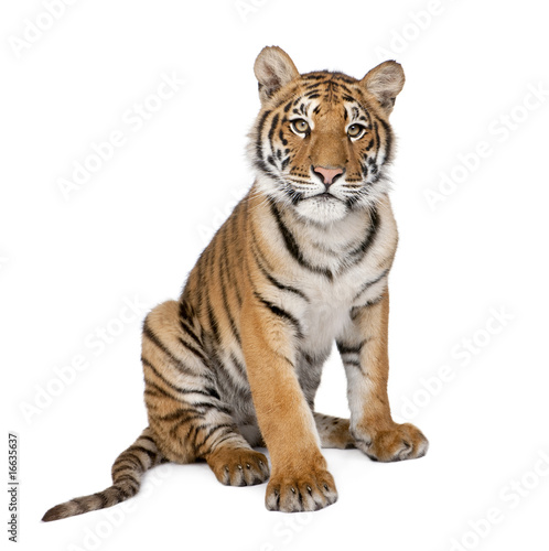 Photographie Portrait de Tigre du Bengale, 1 an, assis, studio shot, Pant