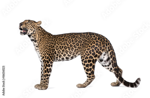 Spoed Foto op Canvas Luipaard Portrait of leopard, Panthera pardus, standing, studio shot