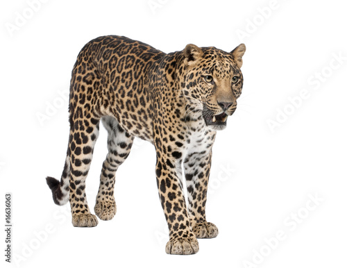 Photo Stands Leopard Portrait of leopard, Panthera pardus, standing, studio shot
