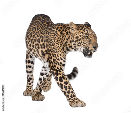 Photo Stands Leopard Portrait of leopard, Panthera pardus, walking, studio shot