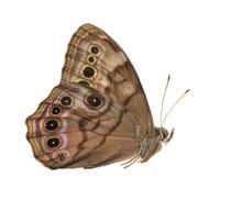 Buckeye Butterfly (Junonia)