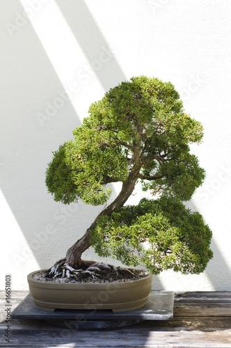 Foto-Duschvorhang - Bonsai Tree (von rrodrickbeiler)