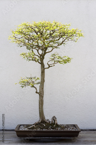 Foto-Lamellen - Bonsai Tree