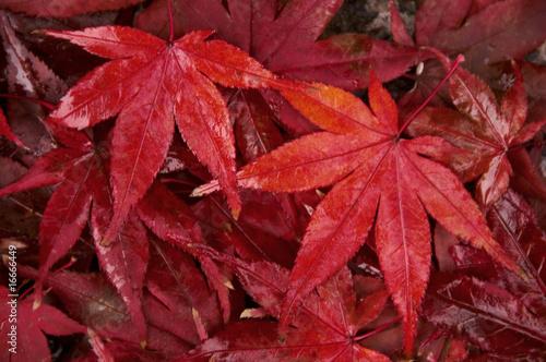 Foto op Plexiglas Bordeaux 紅葉